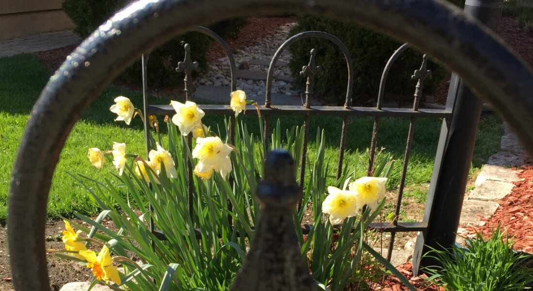 Fence_w_yellow_daffodils_V_cr
