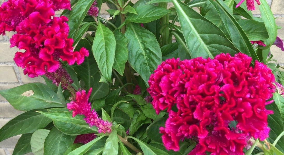flowers_pink_fluffy_v_cr