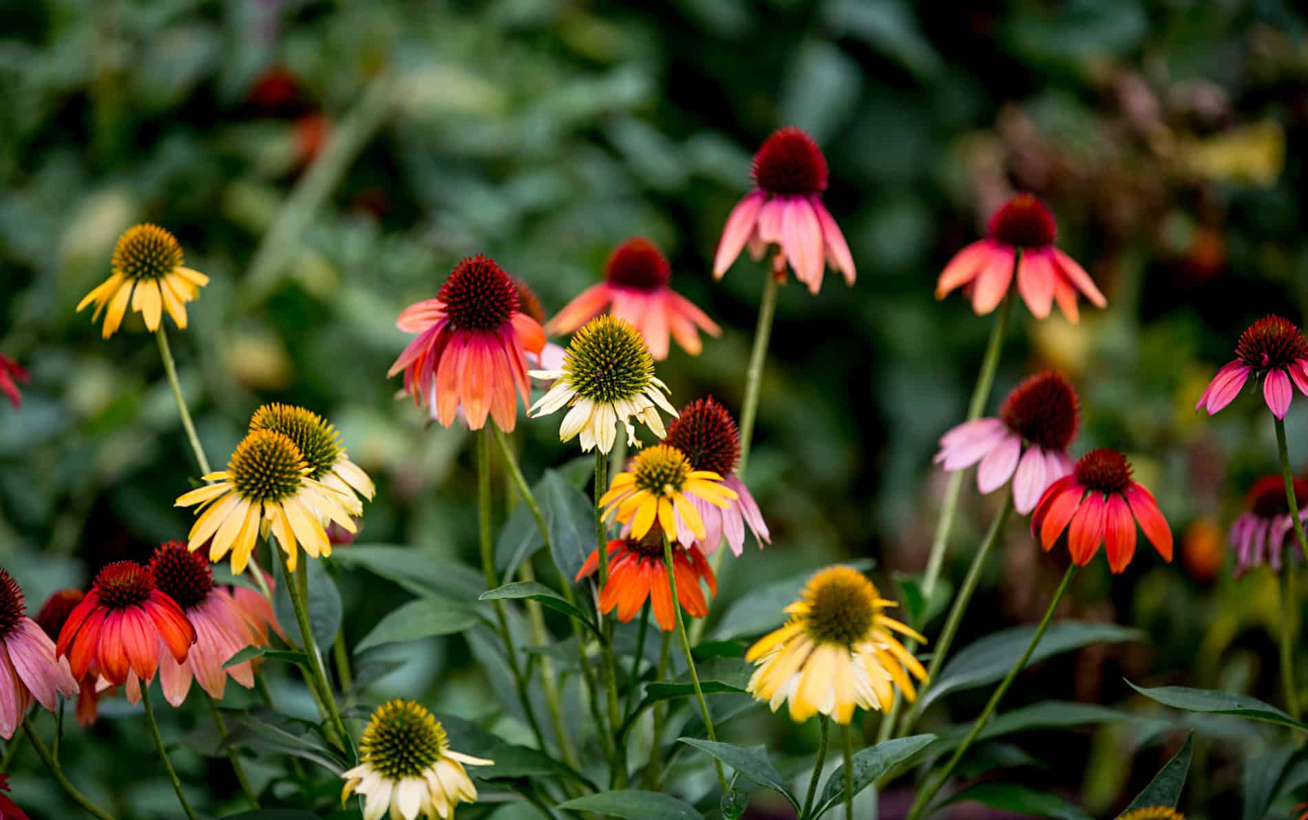 Large assortment of red, orange and yellow daisy like flowers with long green stems