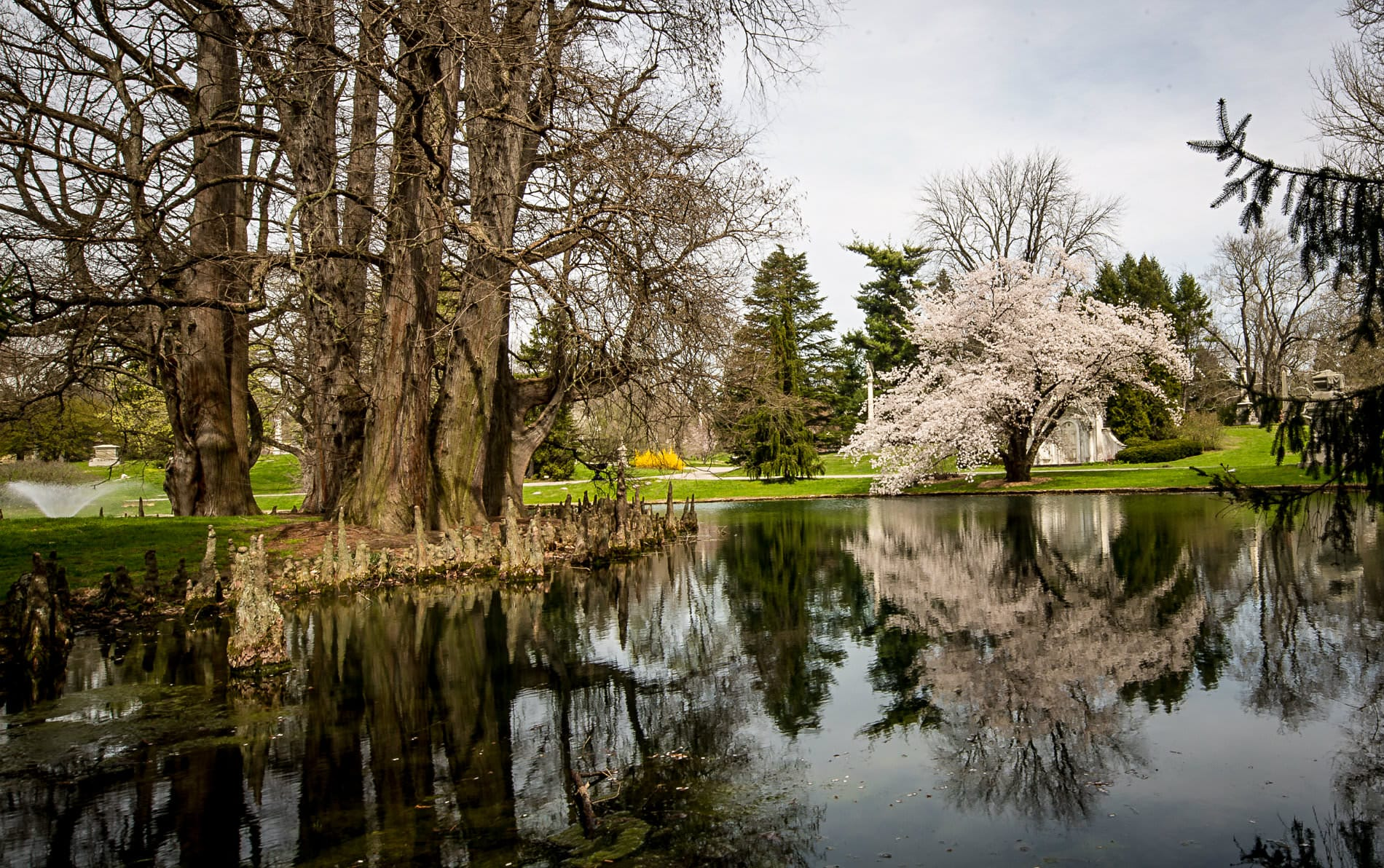 Lake in a park reflecting leafless trees, tall green pine trees and white flowering trees