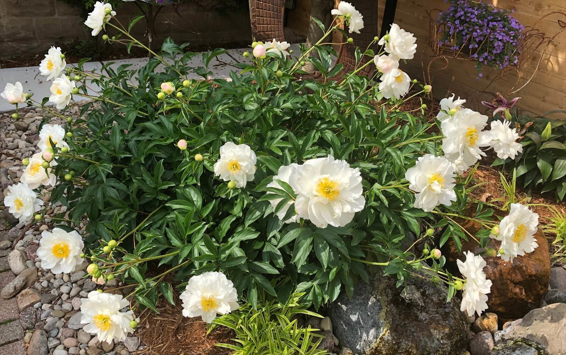 Large green flowering plant with white flowers and yellow centers