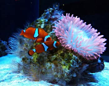 Two orange, black and white fish swimming next to a pink tentacle sea anemone