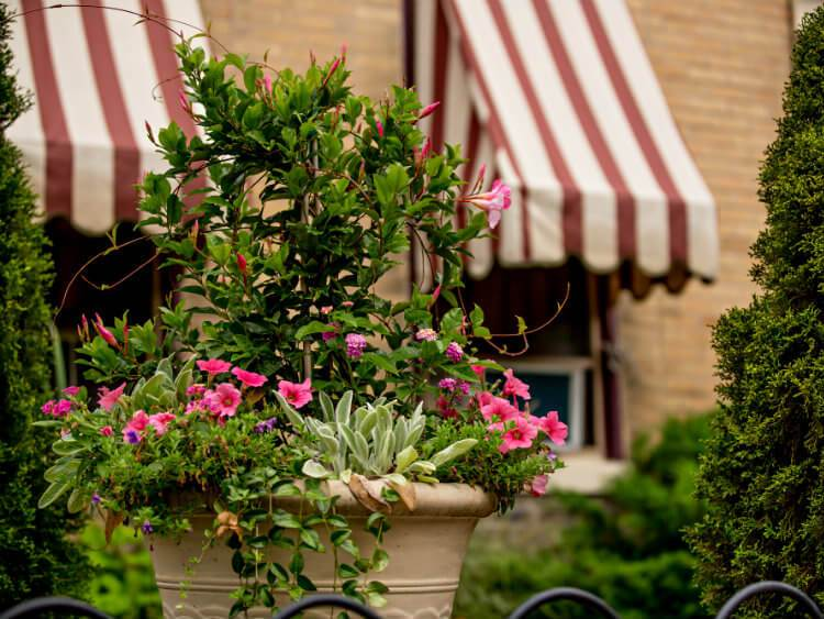 Large flower pot with bright pink flowers in front of Brick house with red and tan striped window awnings