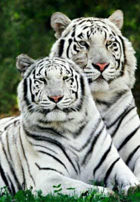 Large and medium white tigers with black stripes, green eyes and pink noses sitting side by side.