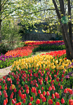 Park with a concrete sidewalk surrounded by red, yellow, and purple tulips